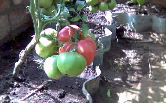 Томат Розовый Гигант: описание сорта, фото, отзывы