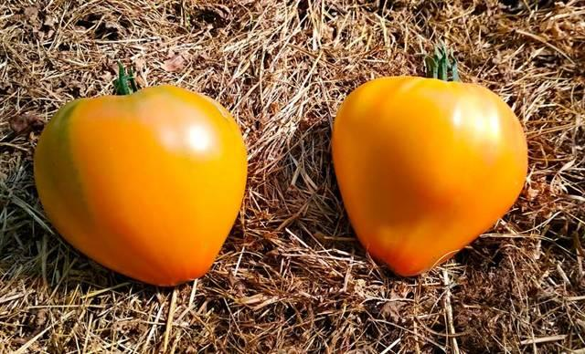 Сорт томата Сокровище инков: описание, выращивание, отзывы, фото