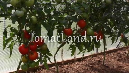 Томат Кумир: описание сорта, фото, отзывы