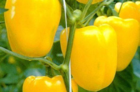 Желтый перец Гигант