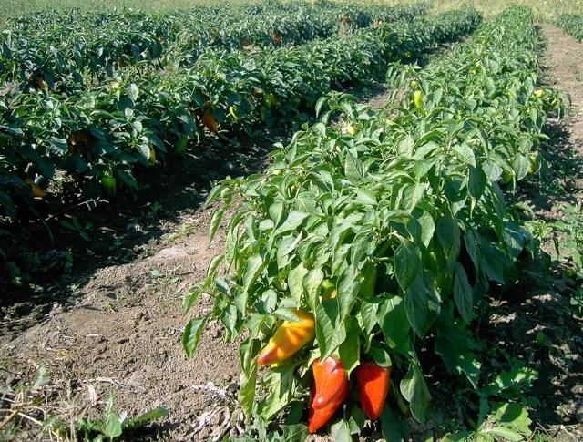 Сроки высадки перца в открытый грунт