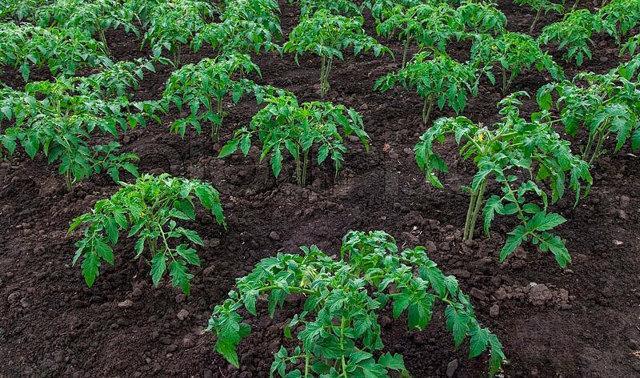 Томат Болото: описание сорта, отзывы, фото, урожайность