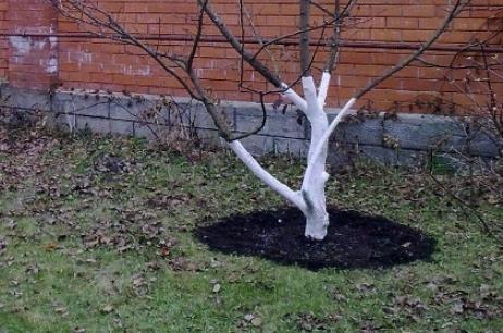 Яблоня Рождественское: описание, фото, отзывы садоводов, посадка
