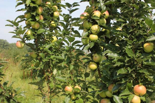 Колоновидная яблоня Валюта: описание сорта, фото, отзывы