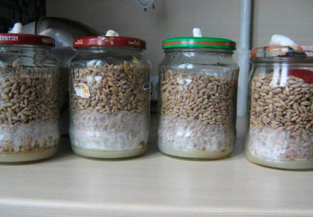 Выращивание вешенки на пнях в домашних условиях