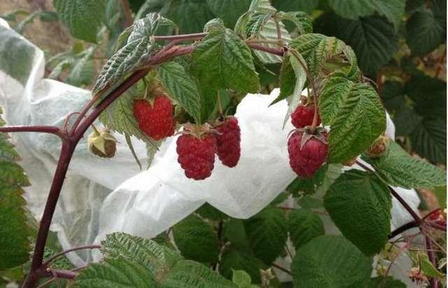 Описание сорта малины Рубиновое ожерелье