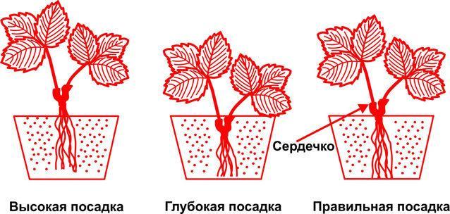 Клубника Медовое лето: описание сорта, фото, отзывы