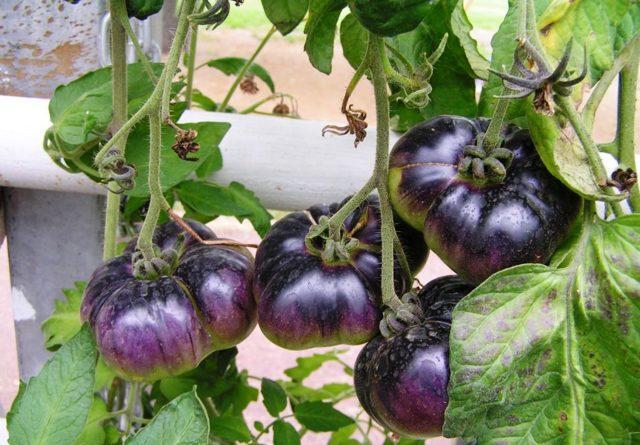 Томат Голубая лагуна: описание сорта, урожайность, отзывы, фото