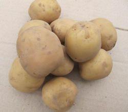 Картофель Изюминка: описание сорта, фото, отзывы