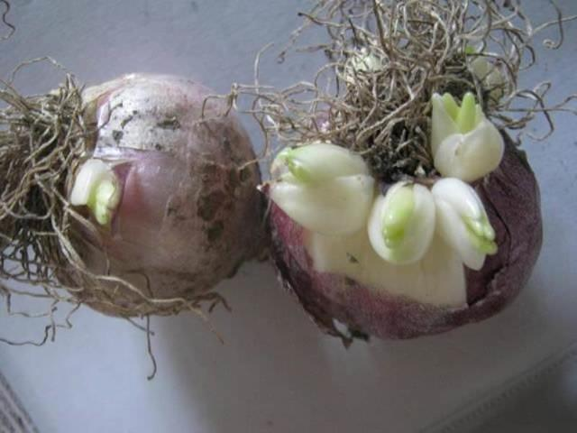 Гиацинты: посадка и уход в открытом грунте, период цветения, размножение