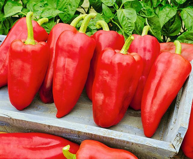 Индетерминантные сорта перцев