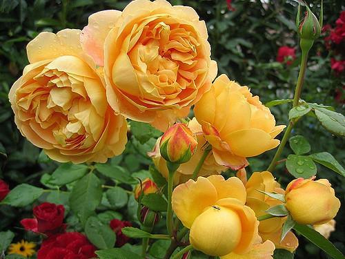 Посадка роз осенью с открытой корневой системой: сроки, особенности, правила осенней высадки