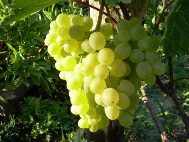 Виноград Тукай: выращивание и уход, отзывы, фото, видео