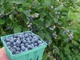 Как растет черника: в лесу, фото, как выглядит, когда созревает, как быстро собирать ягоды