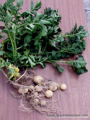 Картофель Реванш: описание сорта, фото, отзывы, посадка и уход, выращивание