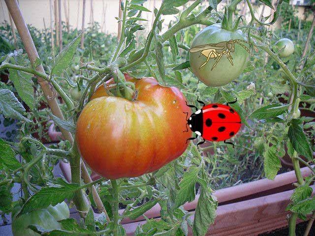 Белокрылка на рассаде томатов