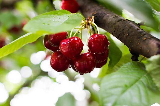 Черешни вкусные зимостойкие: для Сибири, на Урале, лучшие сорта, фото, отзывы
