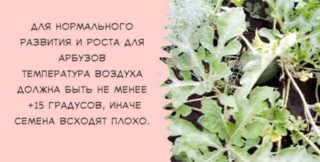 Когда сажать арбузы на рассаду: сроки посадки, как подкормить и вырастить