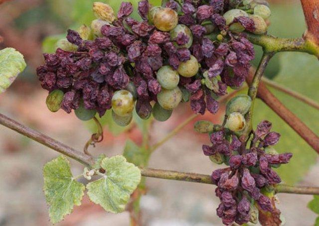 Виноград Юлиан: описание сорта, фото, отзывы