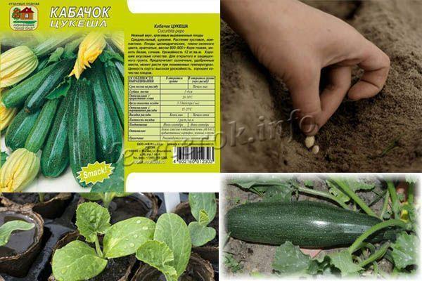 Кабачок Цукеша: описание сорта, фото, отзывы, выращивание, урожайность