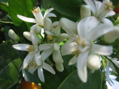 Лимон Пандероза: фото, описание сорта, уход в домашних условиях