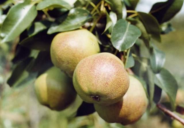 Когда собирать груши: в зависимости от сорта, для хранения, для переработки, как снимать с дерева, как сохранить свежими