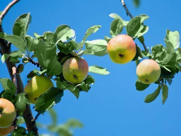 Яблоня Медуница: описание сорта, фото, отзывы