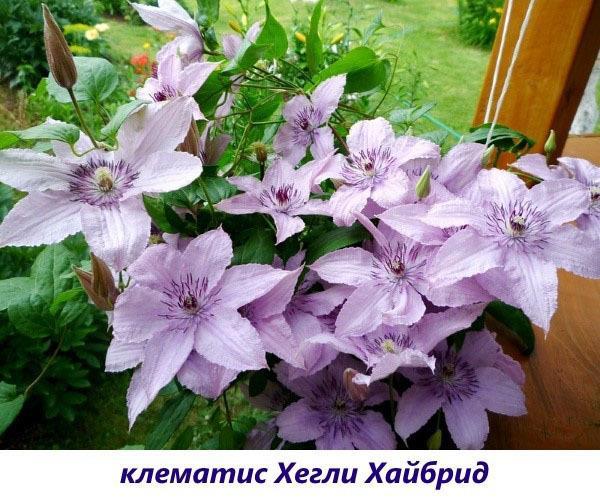 Клематис Мазовше (mazowsze): описание, группа подрезки, отзывы, фото