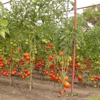 Основные правила выращивания помидоров в открытом грунте