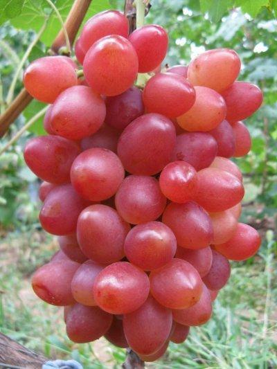 Виноград София: описание сорта, фото, отзывы, видео
