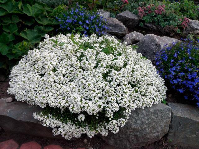 Алиссум Снежный ковер: фото, цветы