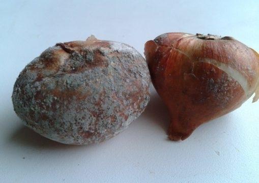 Как хранить луковицы тюльпанов: способы хранения до осени, зимы, весны и лета