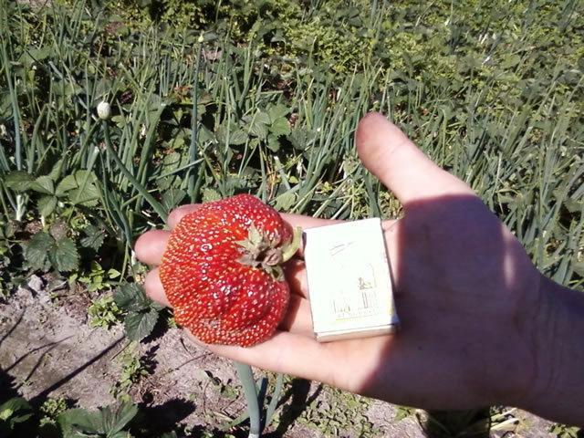 Клубника Машенька: описание сорта, фото и отзывы садоводов