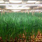 Выращивание лука на перо в теплице зимой: как вырастить, видео