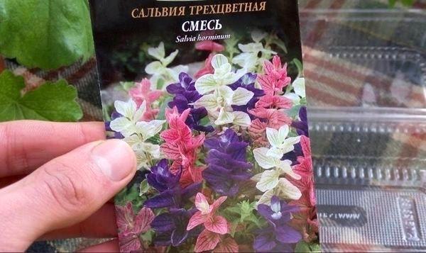 Сальвия: фото цветов, когда сажать на рассаду