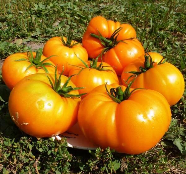 Перец желтый Бизон: описание сорта, урожайность, фото, отзывы