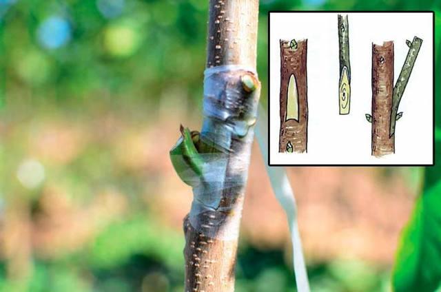 Прививка яблонь осенью для начинающих: на старое и молодое дерево, видео