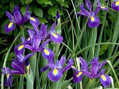 Многолетние цветы в садах Урала