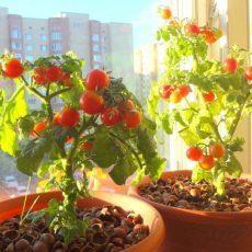Пасынкование в теплице томатов черри