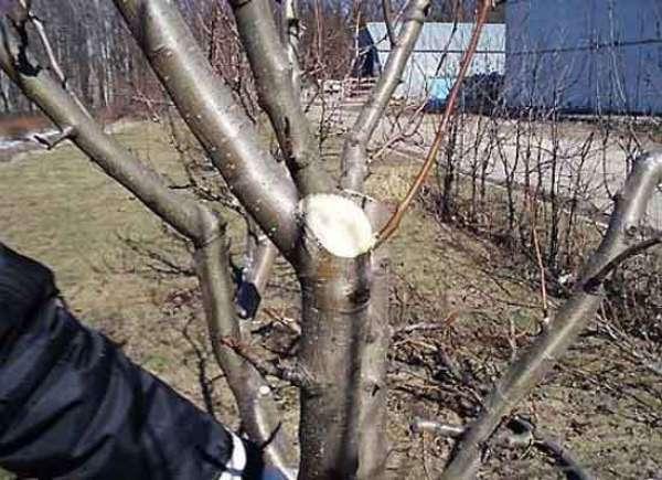 Дыня Славия: когда созревает, выращивание и уход