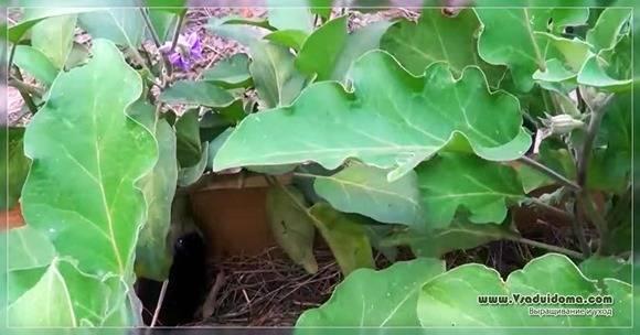Баклажан Робин Гуд: отзывы, описание, фото.