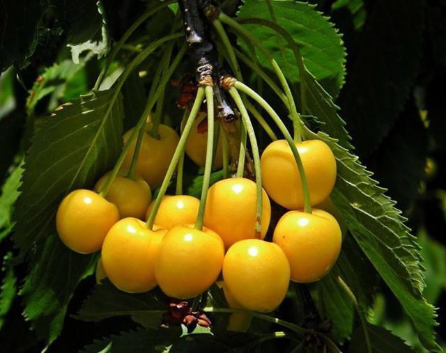 Черешня Дрогана желтая: описание сорта, фото, отзывы, болезни, опылители