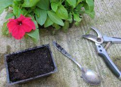 Когда можно высаживать петунию в открытый грунт