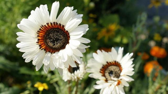 Венидиум: выращивание из семян.