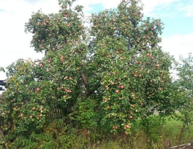 Сорт яблок Штрифель: описание, фото, посадка, отзывы