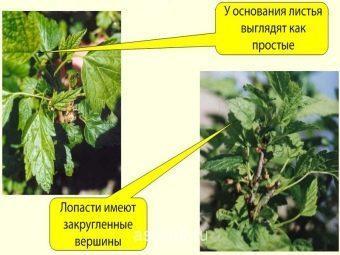 Махровость (реверсия) смородины: что за болезнь, фото с описанием, что делать, как бороться, как лечить