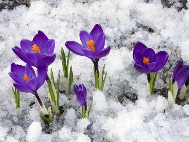 Зимующие луковичные многолетники