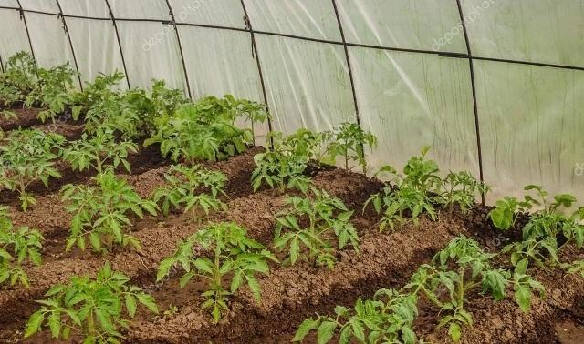 Чем подкормить высаженные в грунт помидоры