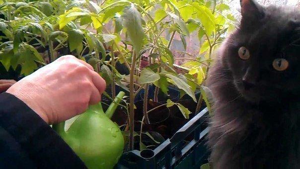 Дрожжи для рассады томатов