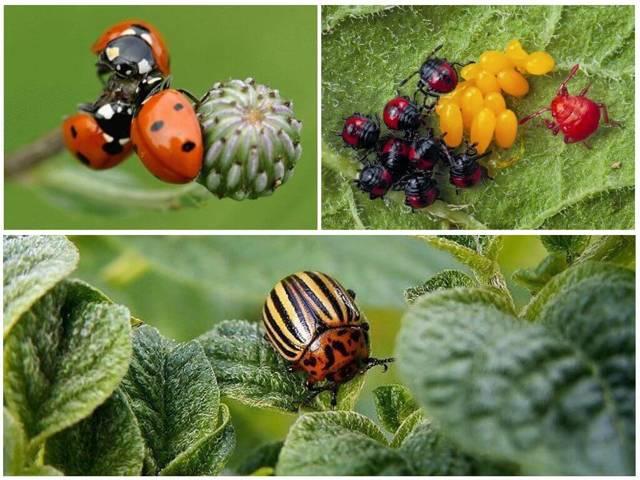 Естественные враги колорадского жука